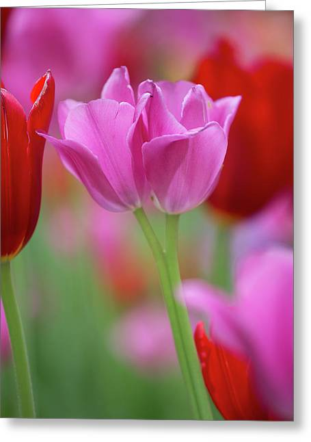 Red And Pink Tulips In A Garden Greeting Card by Panoramic Images