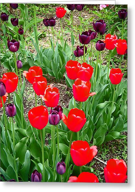 Greens Greeting Cards - Red and Purple Tulips Greeting Card by Aimee L Maher Photography and Art