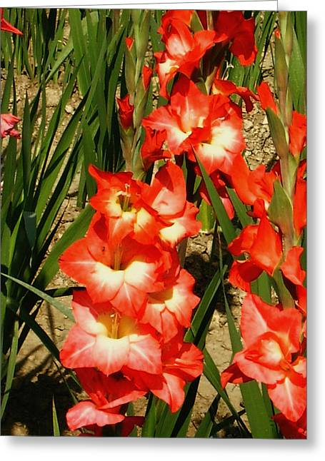 Red and white gladiolus flower photograph by johnson moya red and white gladiolus flower greeting card by johnson moya mightylinksfo
