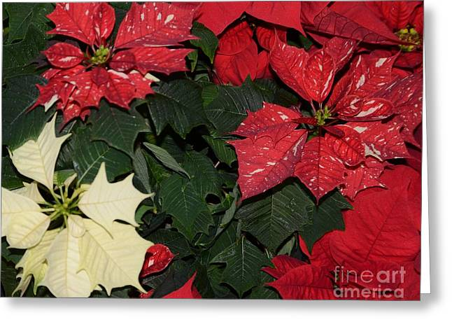 Red And White Poinsettia Greeting Card by Kathleen Struckle