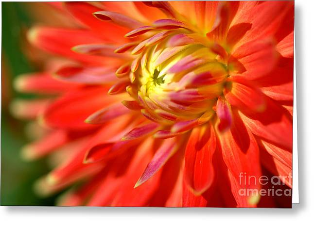 Red And Yellow Dahlia Flower Close Up Greeting Card
