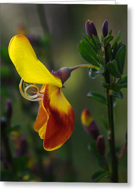Red And Yellow Scotchbroom Greeting Card by Adria Trail