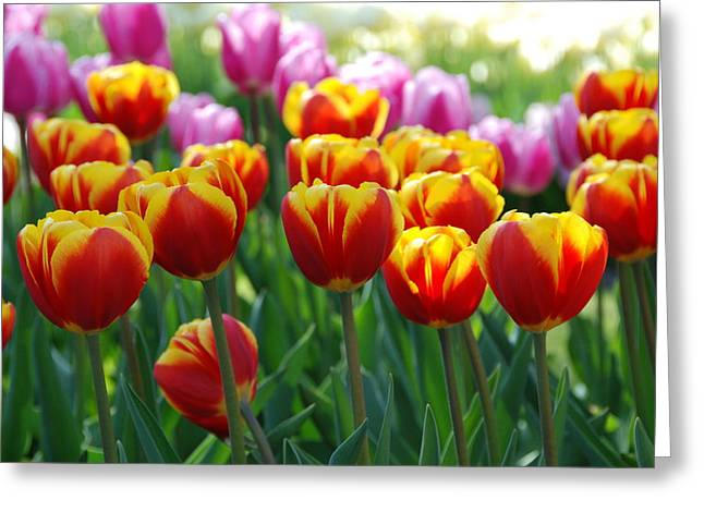 Greeting Card featuring the photograph Red And Yellow Tulips  by Allen Beatty