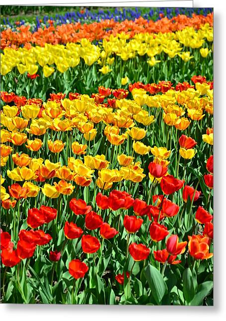Red And Yellow Tulips Greeting Card by Gynt
