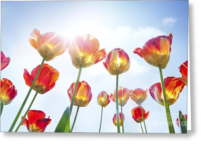 Red And Yellow Tulips Greeting Card by Mythja  Photography