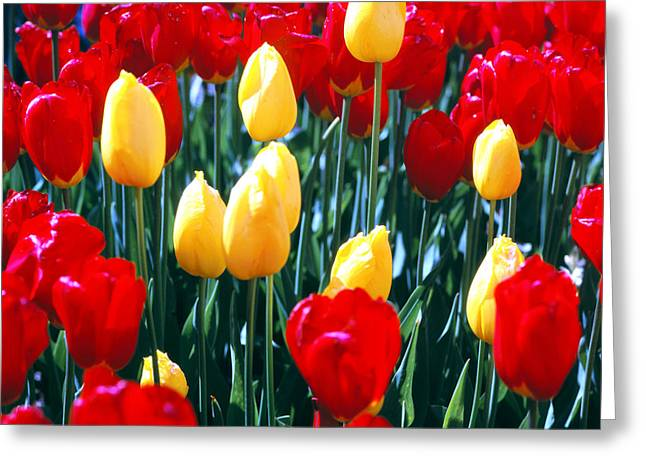 Red And Yellow Tulips - Square Greeting Card