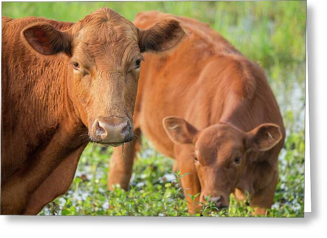 Red Angus Cow And Calf Drinking Water Greeting Card