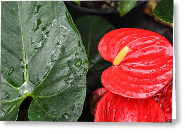 Red Anthurium Flower Greeting Card