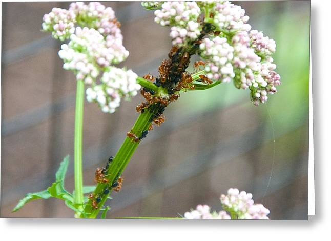 Red Ants And Valerian Officinalis Greeting Card