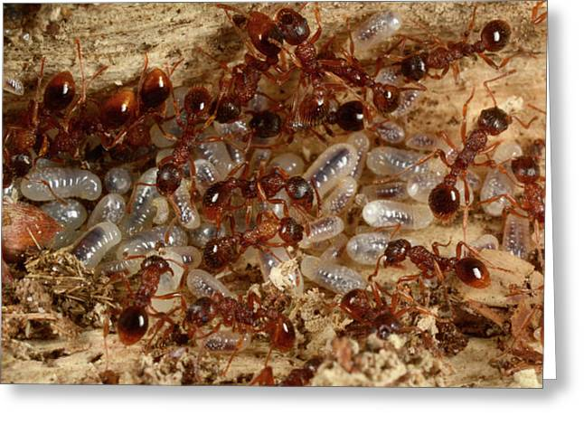 Red Ants With Larvae Greeting Card