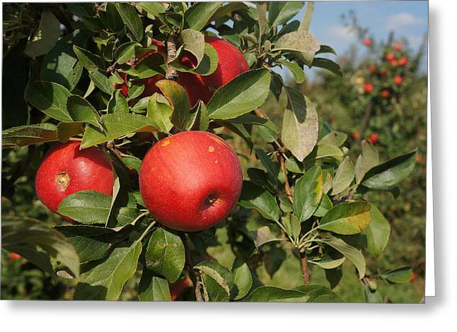Red Apple Growing On Tree Greeting Card