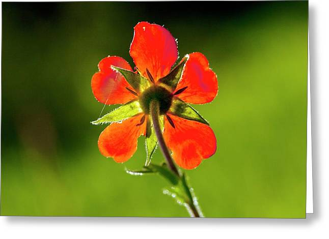 Red Avens (geum Coccineum) Flower Greeting Card