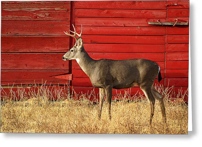 Red Barn Buck Greeting Card