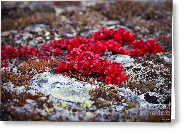Red Bearberry Greeting Card by Chris Heitstuman