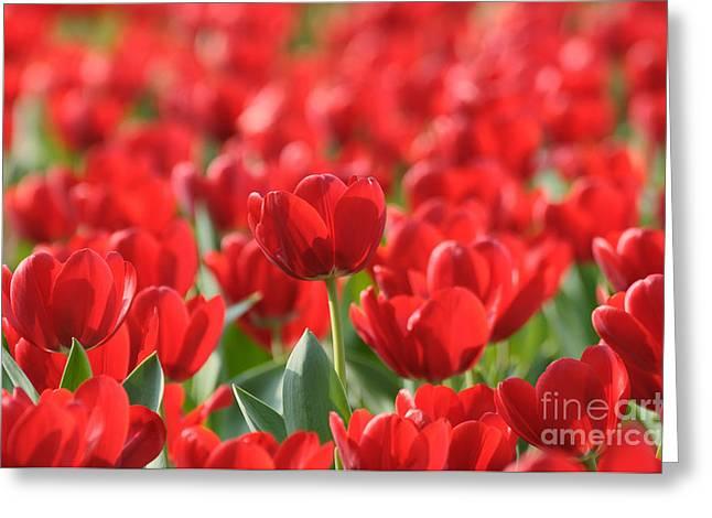 Red Beautiful Tulips Greeting Card