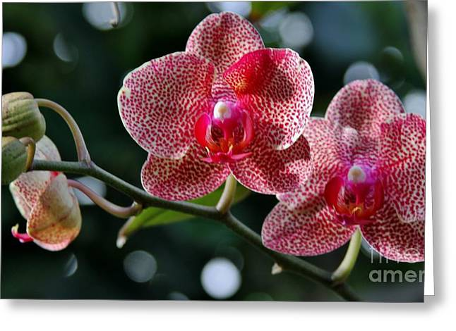 Red Beauty Greeting Card by Butch Phillips