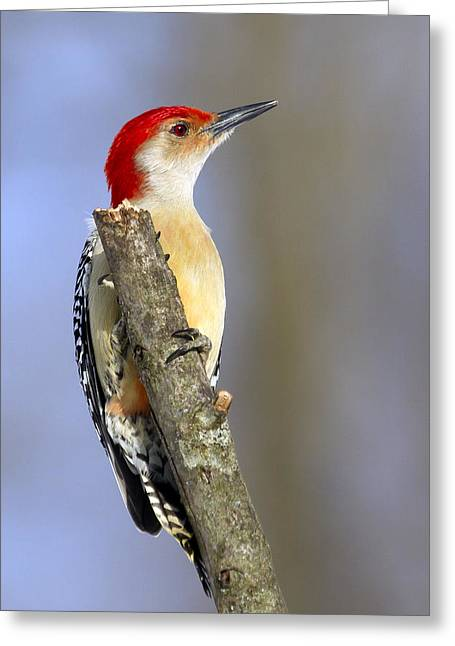 Red-bellied Woodpecker Greeting Card by David Lester
