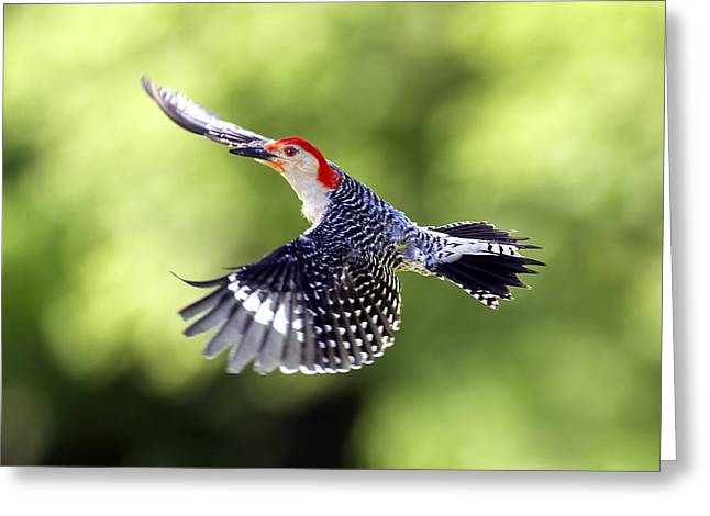 Red-bellied Woodpecker Flight Greeting Card by David Lester