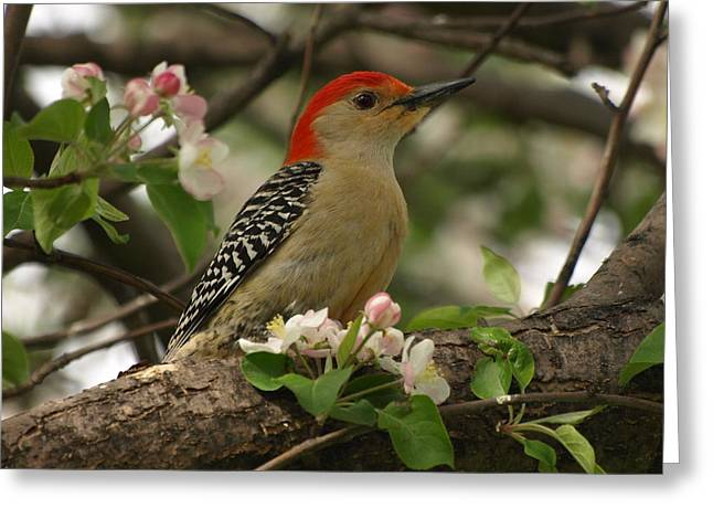 Greeting Card featuring the photograph Red-bellied Woodpecker by James Peterson