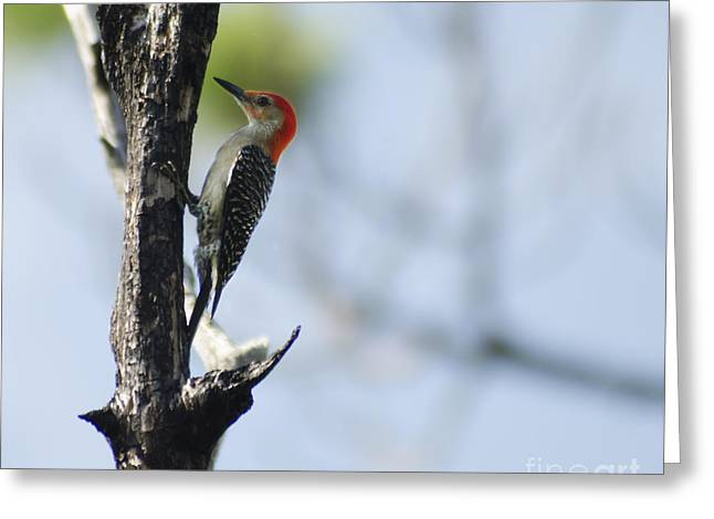 Red-bellied Woodpecker Greeting Card