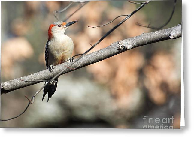 Red Belly Greeting Card by Caisues Photography