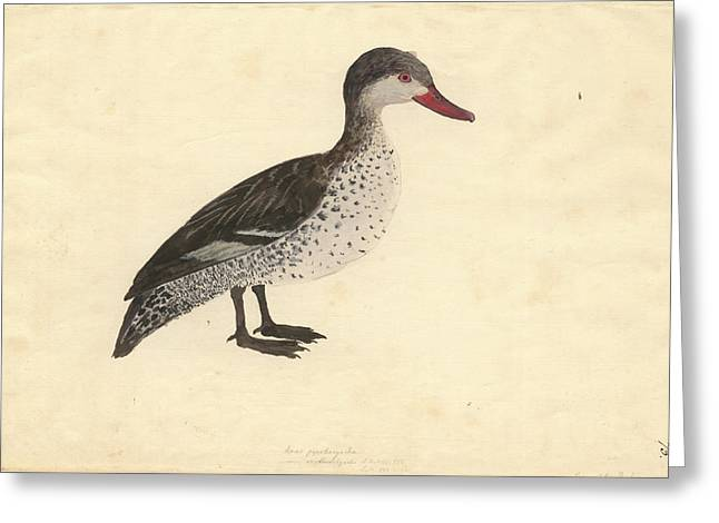Red-billed Duck Greeting Card by Natural History Museum, London