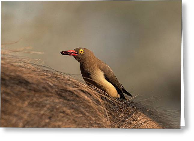 Red-billed Ox-pecker With Tick In Bill Greeting Card