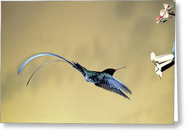 Red-billed Streamertail Hummingbird Greeting Card