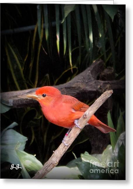 Greeting Card featuring the photograph Red Bird Pose by Geri Glavis