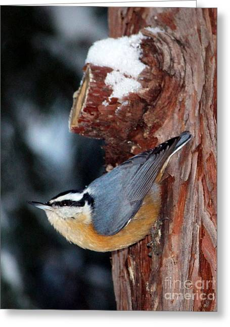 Red Breast Nuthatch  Greeting Card