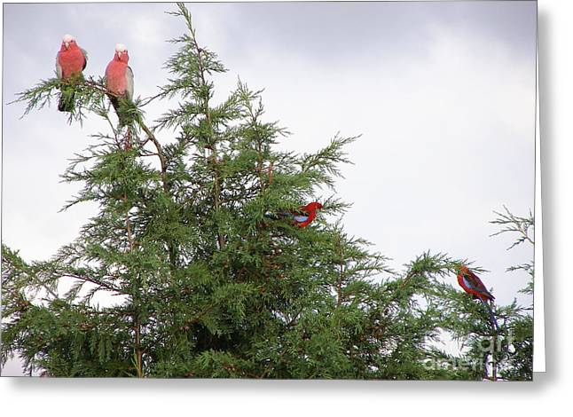 Red-breasted Cockatoos And Crimson Rosellas Greeting Card by Bev Conover