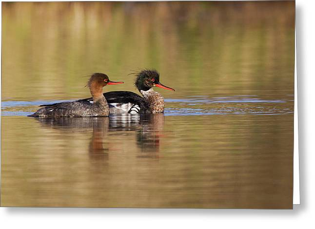 Red-breasted Merganser Pair Greeting Card