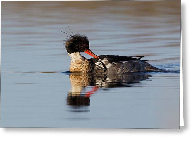 Red-breasted Merganser Preening Greeting Card