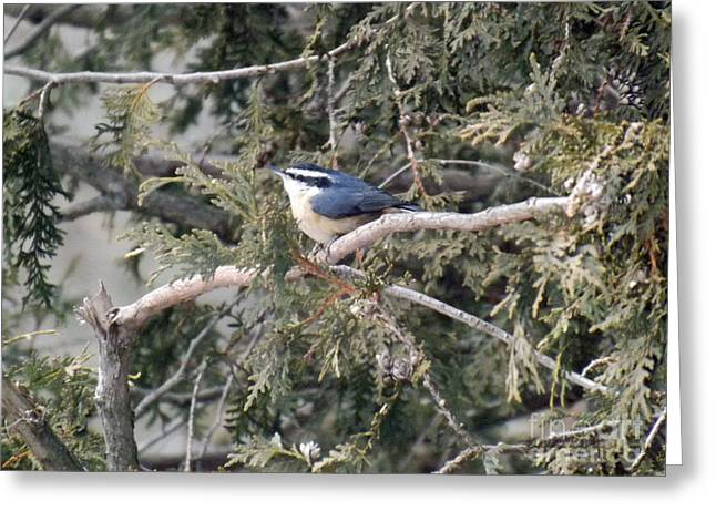 Greeting Card featuring the photograph Red Breasted Nuthatch by Brenda Brown