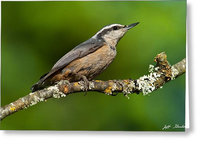 Red Breasted Nuthatch In A Tree Greeting Card