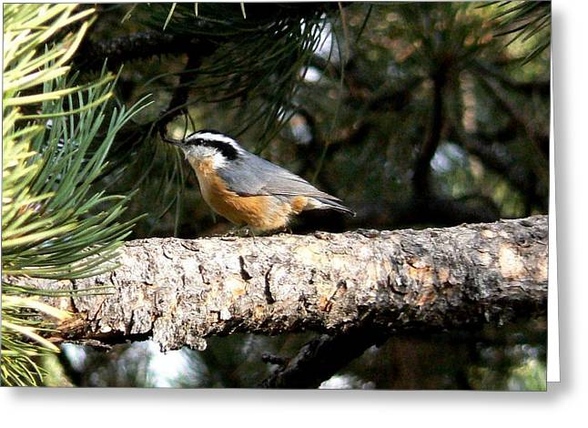 Red-breasted Nuthatch In Pine Tree Greeting Card