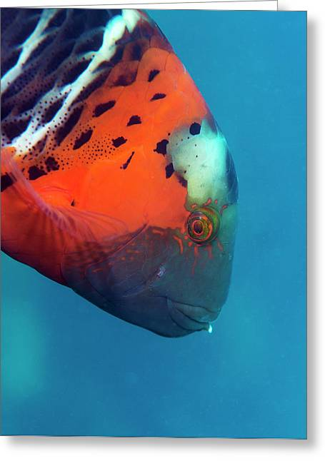 Red-breasted Wrasse Greeting Card