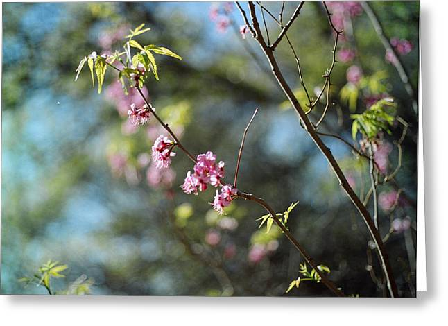 Red Buds In Bloom Greeting Card by Linda Unger