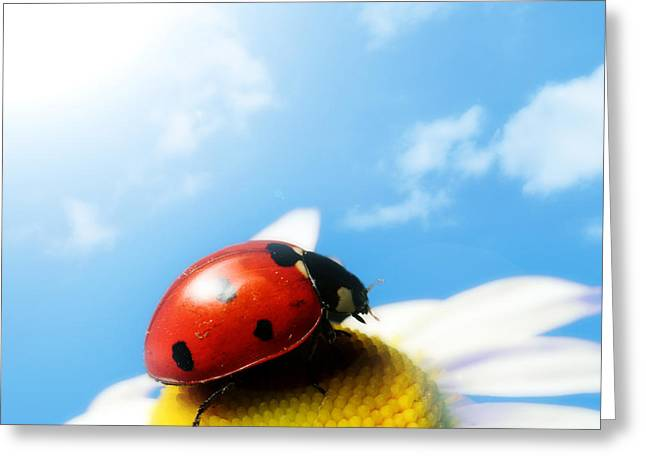 Red Bug On Camomile Flower Greeting Card
