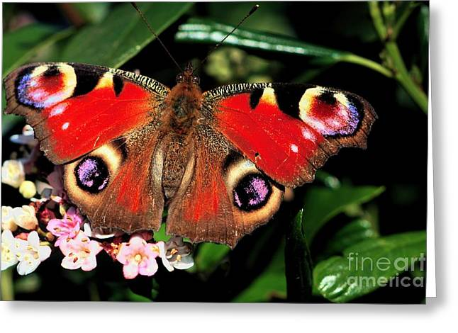 Greeting Card featuring the photograph Red Butterfly In The Garden by Jeremy Hayden