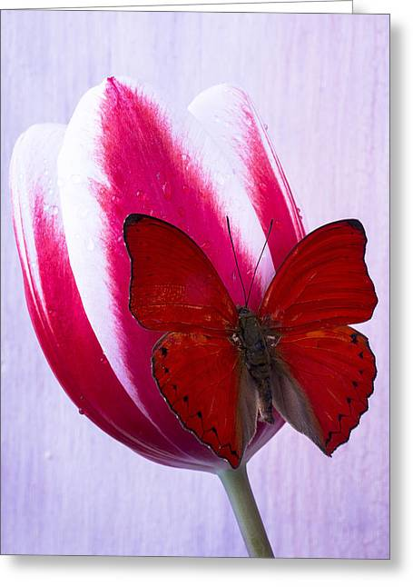 Red Butterfly On Red And White Tulip Greeting Card by Garry Gay