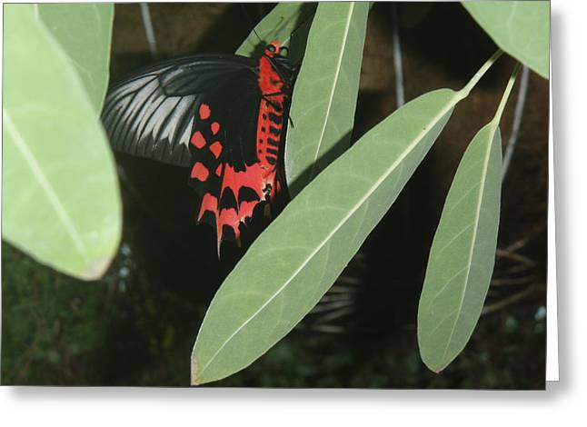 Greeting Card featuring the photograph Red Butterfly by Robert Nickologianis