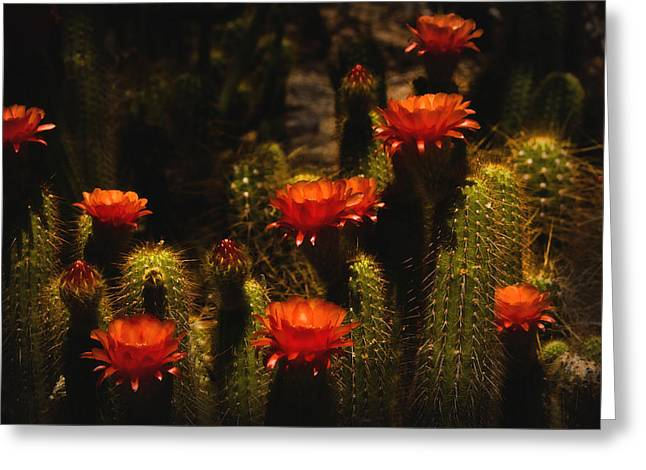 Red Cactus Flowers  Greeting Card by Saija  Lehtonen
