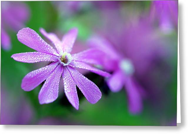 Red Campion (silene Dioica) Greeting Card