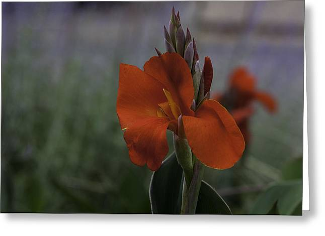 Red Canna Greeting Card by Martha Burger