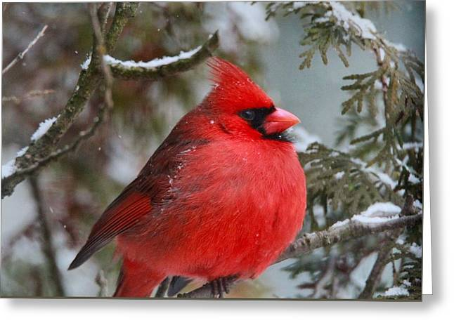 Red Cardinal In Winter Greeting Card