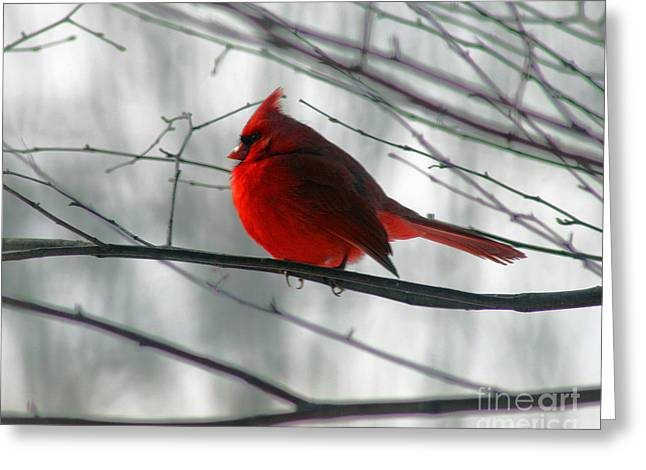 Red Cardinal On Winter Branch  Greeting Card