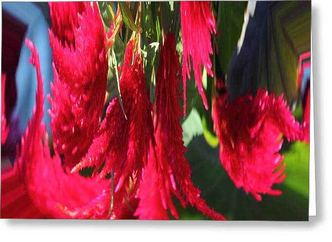 Red Celosia Plumosa  Greeting Card by Rhonda Humphreys