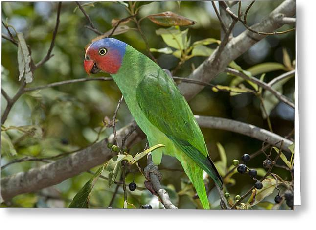 Red-cheeked Parrot Queensland Australia Greeting Card by D. Parer & E. Parer-Cook