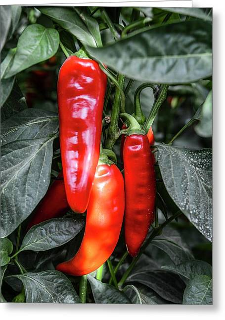 Red Chilli Peppers Greeting Card by Photostock-israel